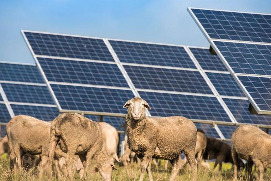 انرژی پاک و لبه های تمیز: گوسفندهای چمن زنی که در یک مزرعه خورشیدی کار می کنند